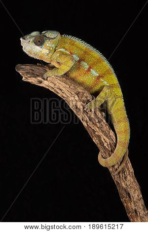 A close up image of a chameleon perched on the top of a branch in upright vertical format against a black background