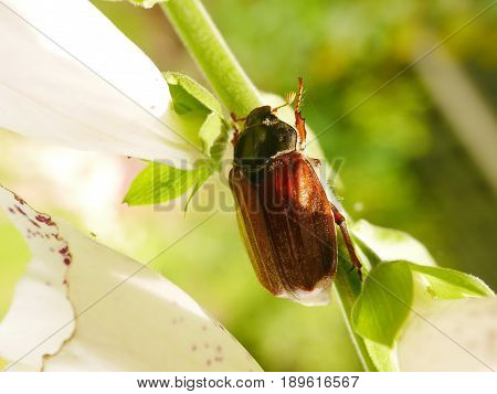 Summer Chafer beetle (Amphimallon solstitialis) on a foxglove stem