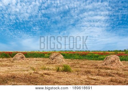 Skew hay collected in haystacks in a meadow and blue sky with cirrus clouds .Beautiful spring rural landscape.