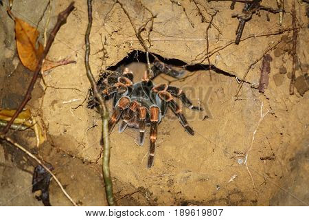 Night view of tarantula at the edge of hole, night view