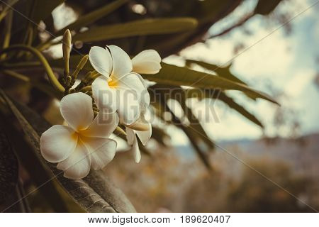 White , Pink And Yellow Plumeria, Frangipani Flowers, Pagoda Tree Or Temple Tree In Vintage Tone Wit