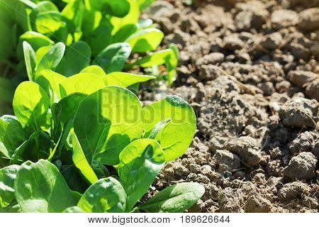Young leaves of spinach.Sprouts spinach growing in garden. Green shoots. Young greens for salad .