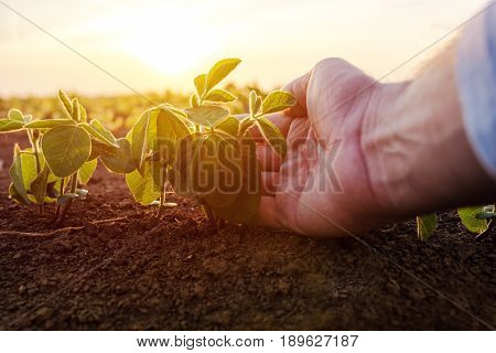 Agronomist checking small soybean plants in cultivated agricultural field close up of male hand examining young crops