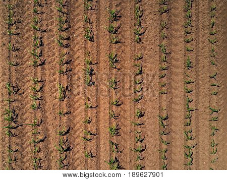 Top view of cultivated corn maize crop field from drone point of view