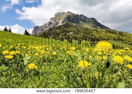 Yellow Dandelion Flowers On Mountain Spring Meadow
