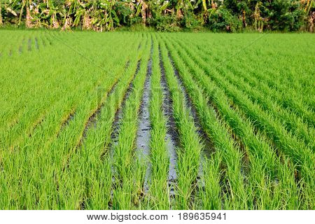 close up Green Terraced Rice Field copy space Rice field green grass blue sky cloud cloudy landscape background