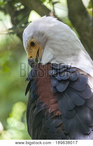 African Fish Eagle; Haliaeetus Vocifer; South Africa.