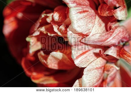 Close-up of a terry tulip background. Selective focus and shallow depth of field