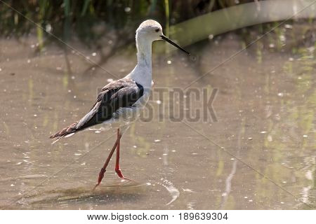 Black-winged stilt, common stilt, or pied stilt Himantopus himantopus