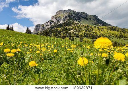 Dandelion Flowers On Mountain Spring Meadow And Peak Big Rozsutec