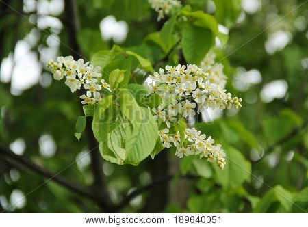 close photo of a twig of bird cherry with fragile white blossoms in spring