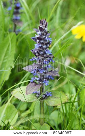 close photo of blooming blue bugle (Ajuga reptans) in spring