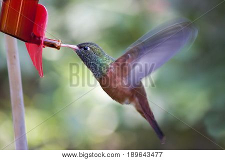 A hummingbird Amazilia Amazilia flying and sucking the nectar