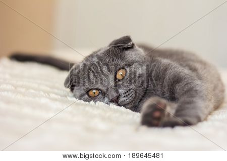 gray cat with red eyes lies on a bed and pulls his paws