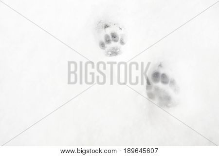 Cat Prints In Snow