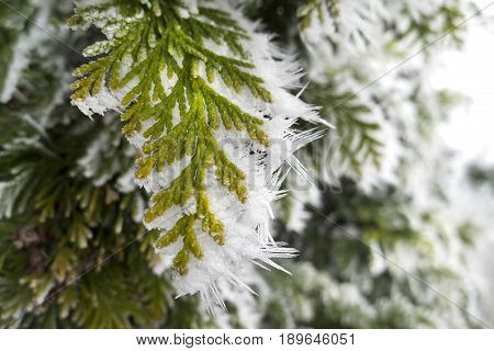 Thuja With Snow