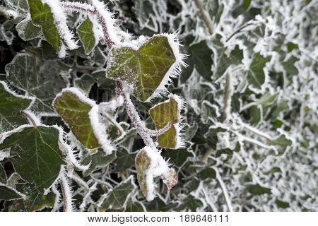 Hedera With Snow