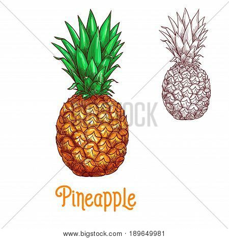 Pineapple fruit sketch. Vector isolated icon of fresh whole exotic tropical ananas citrus fruit for jam and juice drink product label or grocery store, shop and farm market or botany design