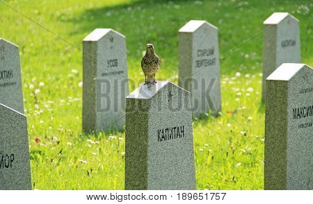 song thrush (Turdus philomelos) sitting on the tombstone on the cemetery of russian soldiers killed during the world war II in Frydek-Mistek, Czech Republic