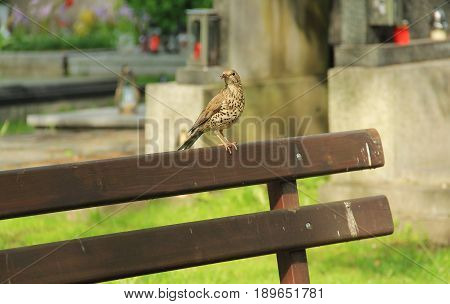song thrush (Turdus philomelos) sitting on the bench on the cemetery