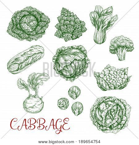 Cabbage vegetables vector sketch icons set. Isolated sorts of white or red cabbage, chinese napa and romanesco, cauliflower or broccoli and kohlrabi. Brussels sprouts, bok and pak choi kale veggies