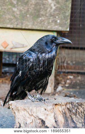 Beautiful Black Crows Sit On A Stump