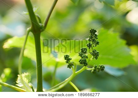 Close Up Of Branch Of Unripe Grape And Leaves