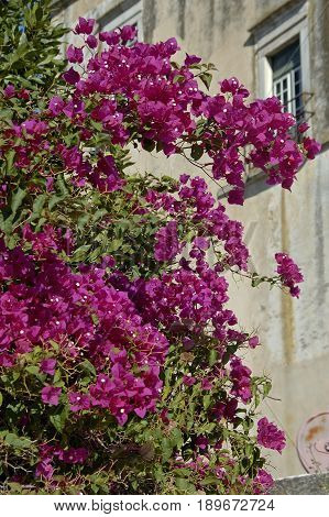 A pink bush of bougaunvilea brightening up the streets of Portugal.