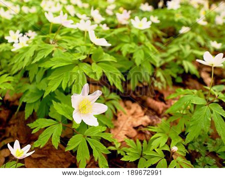 Wood Anemones In Blossom. Flowering Anemone Nemorosa (well Known As Windflower Or Thimbleweed Or Sme