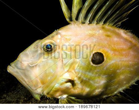 Underwater shot of Zeus Faber - John Dory st Pierre or Peter's fish in natural habitat in Adriatic sea Croatia