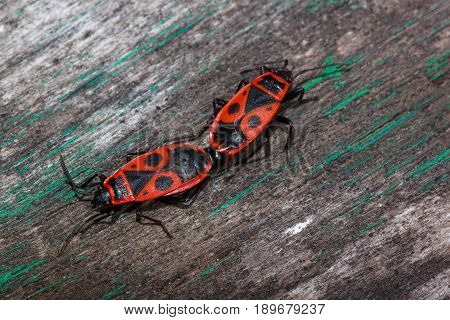 Two red soldier bug are scramble on a wooden table. Animals wildlife.