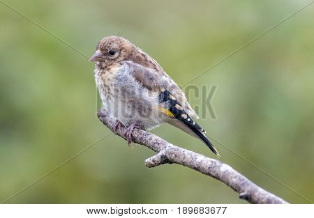 Juvenile Goldfinch On A Stick With Natural Green Background.