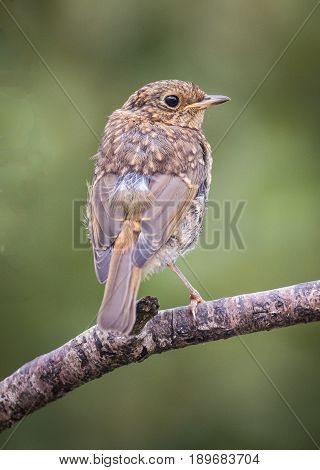 Young European Robin On A Stick With Natural Background.