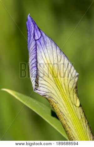 Dewdrops on a Blue Flag Iris (Iris virginica) flower bud - Pinery Provincial Park Ontario Canada
