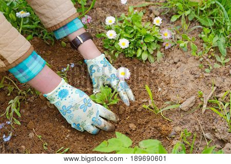 Female hands planting a flower close-up summer