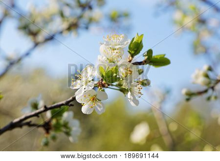 Tree Branch With Flowers Against The Sky With Clouds