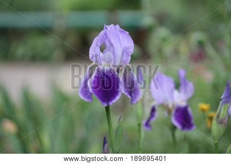 sort of garden two colors( violet and light blue) iris garden flower isolated