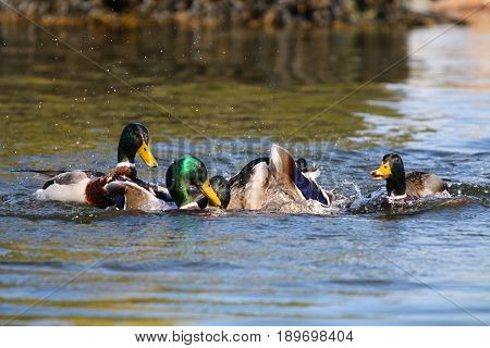 A flock of Mallard drakes fighting over mates