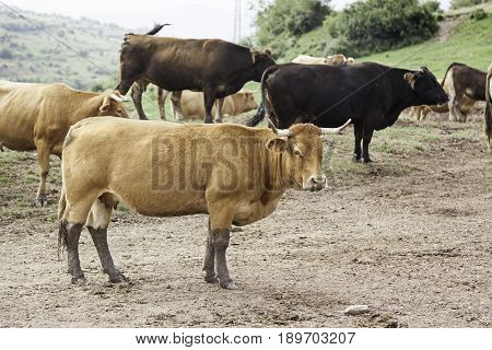 Wild Cows