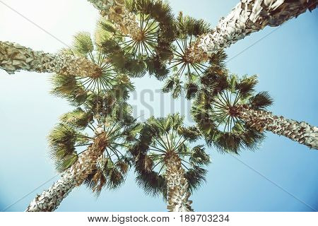 View from below of tropical tall palm trees in a form of circle on a sunny day - Summer travel and vacation concept - vintage filter