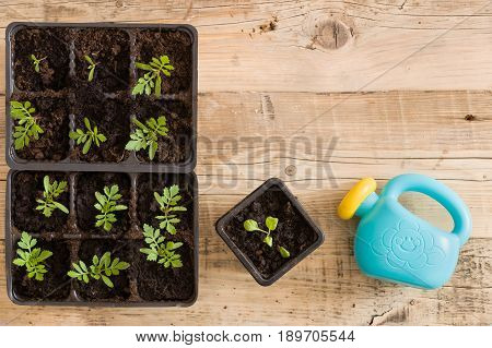 Top view on plastic containers with young baby plants growing on fertile soil and toy watering can. Agriculture. Small Growing Cantaloupe Sprouts on wooden background. Garden grow vegetables. Eco.