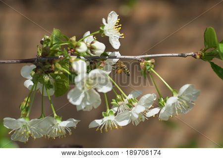Honey Bee harvesting pollen from Cherry Blossombee collecting nectar from white cherry flower.