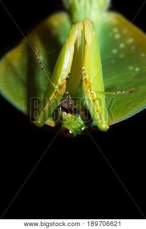 Choeradodis Rhombicollis Or Hooded Mantis