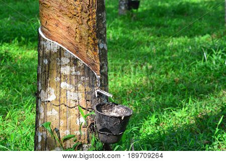 Tapping latex from rubber tree at Malaysia plantation.