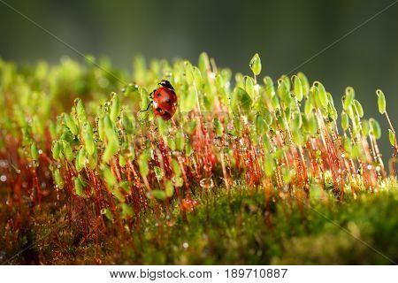 Moss And Ladybug After Rain