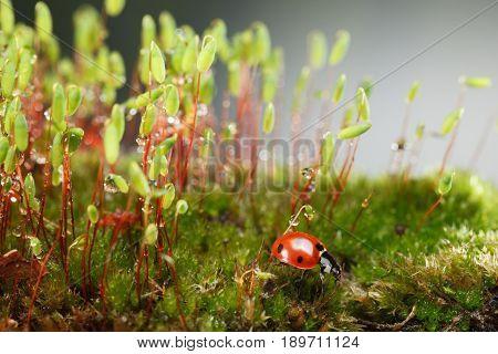 Ladybird On Mossy Forest Floor