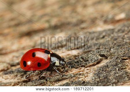 Macro Of Ladybird On Wood