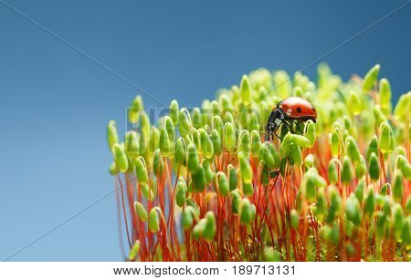 Seven Spotted Ladybird On Moss