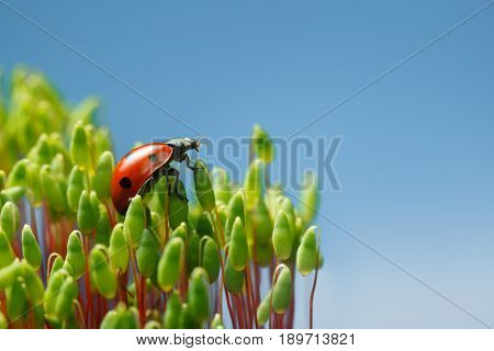 Ladybird Climbed On Pohlia Moss Top