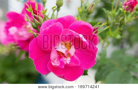 Hardy rugosa shrub rose from the Explorer series   'William Baffin' in a North American garden.